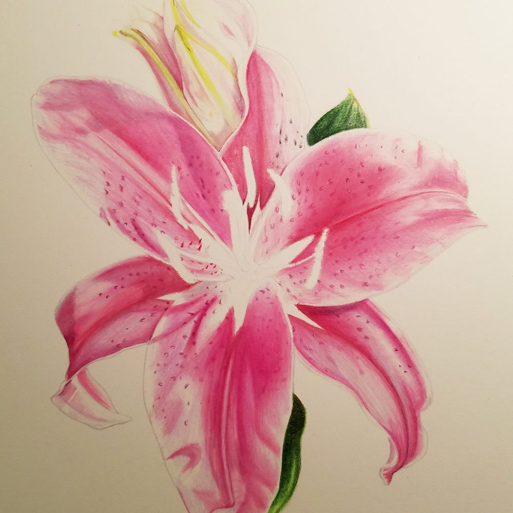 An almost finished picture of the stargazer lily illustration