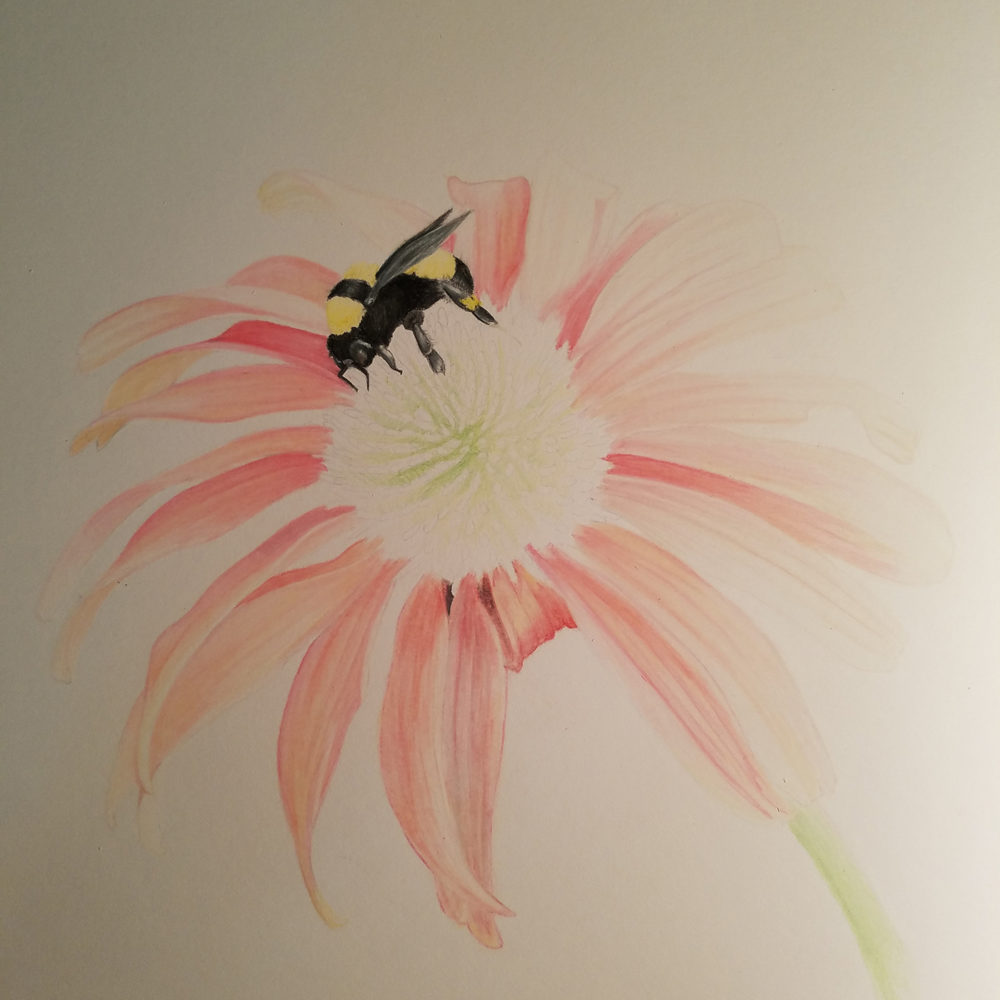 An almost finished image of the coneflower illustration
