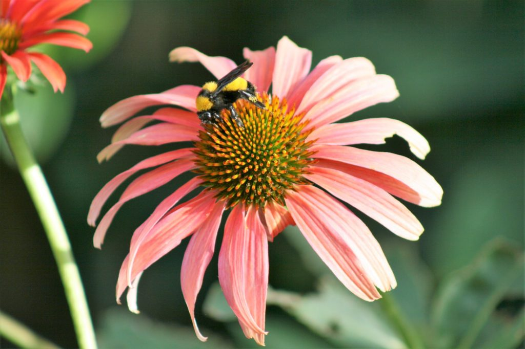 Reference image for the coneflower illustration