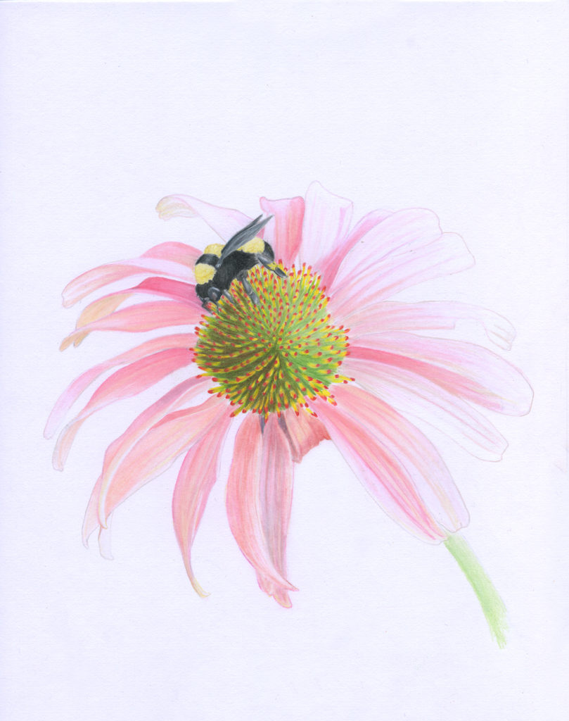 Finished scanned image of the coneflower illustraion