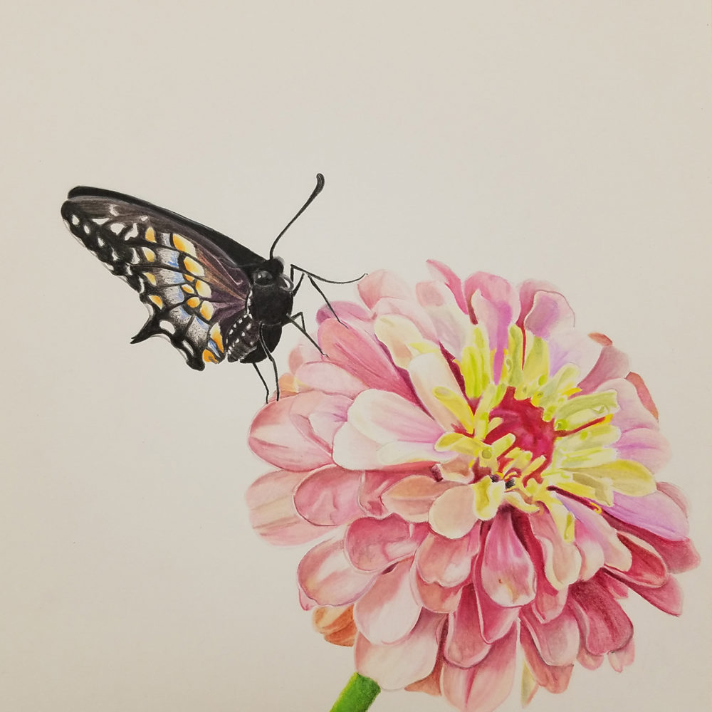 Finished image of the Zinnia and Baird's Swallowtail illustration