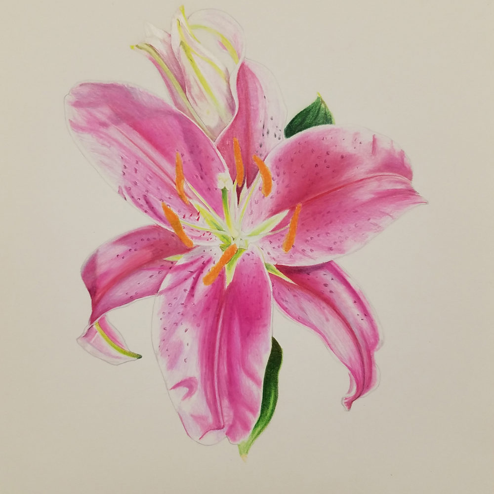Finished picture of the stargazer lily illustration
