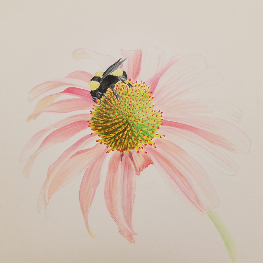 Finished picture of the coneflower illustration