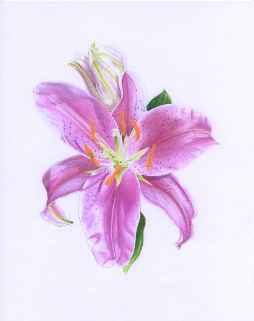 Finished scanned illustration of the Stargazer Lily