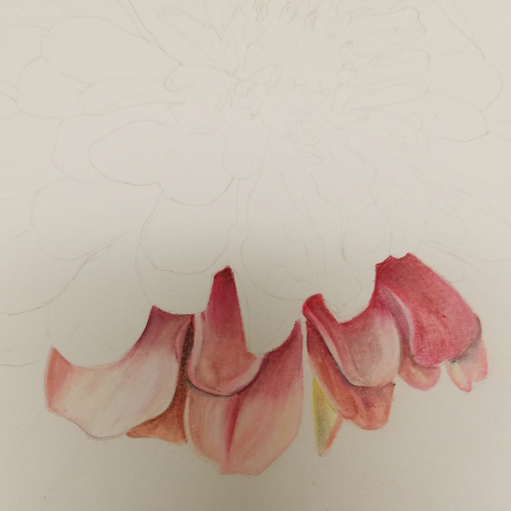 Beginning petals of the zinnia illustration