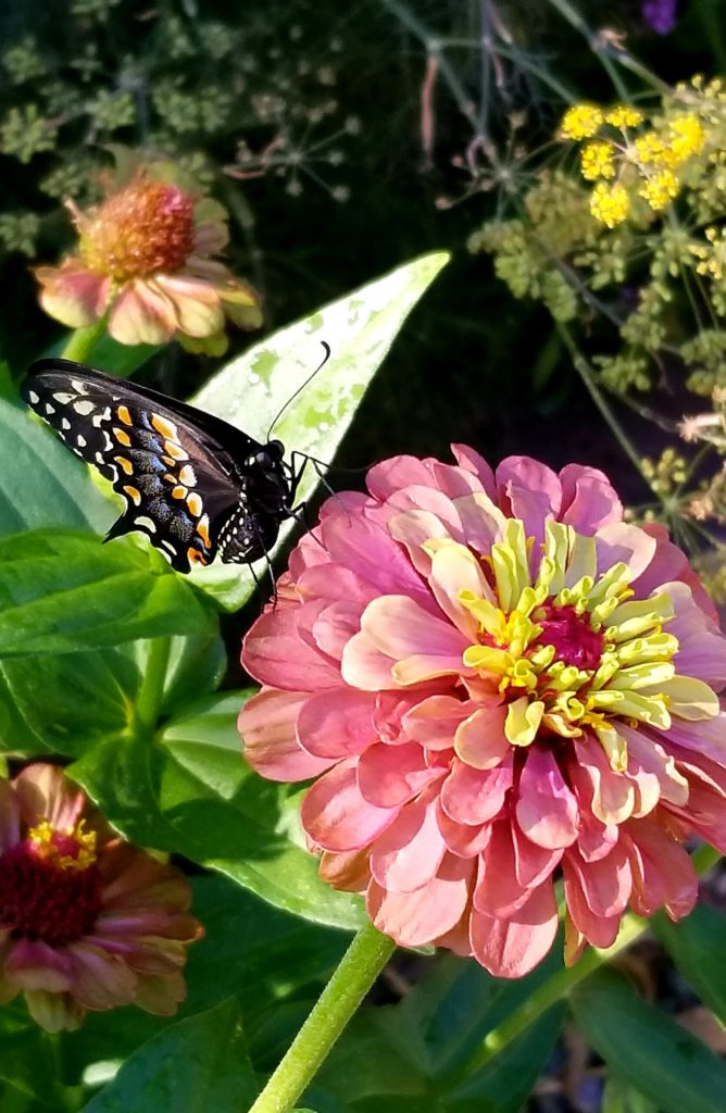 Zinnia with a Baird's Swallowtail reference image