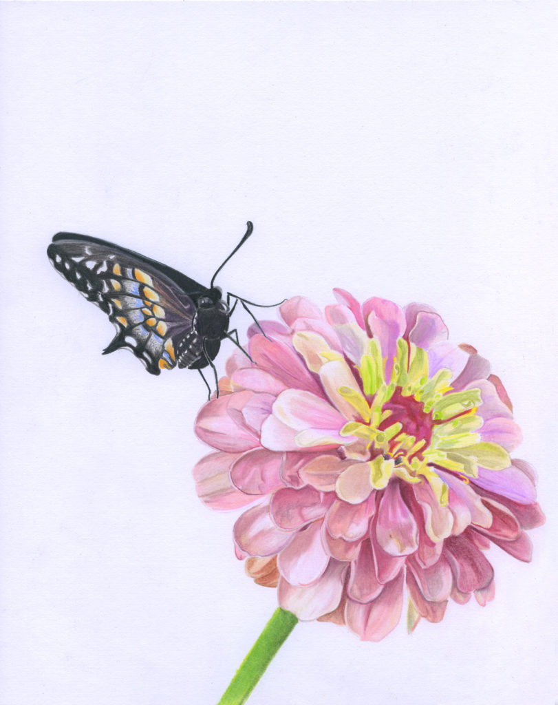 Zinnia with a Baird's Swallowtail scanned illustration